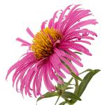 /assets/img/urbigo/plant_collections/aster.jpg
