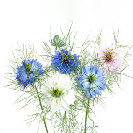 /assets/img/urbigo/plant_collections/love-in-a-mist.jpg