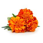 /assets/img/urbigo/plant_collections/marigold.jpg