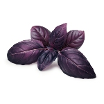/assets/img/urbigo/plant_collections/purple_basil_plant.jpg